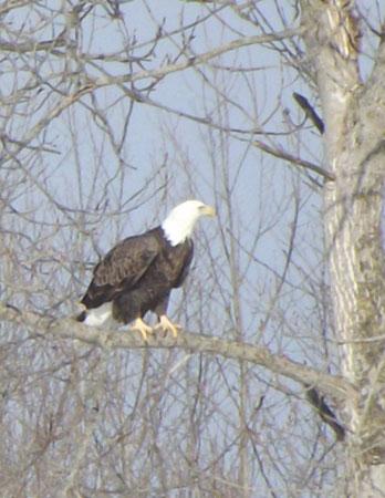 Eagle on Millerton